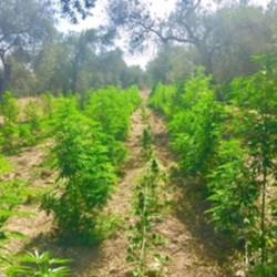 scoperta e sequestrata piantagione cannabis dalla polizia di Sassari