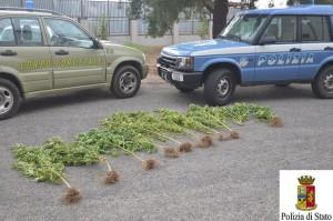 piantine di droga scoperte nelle campagne di barisado