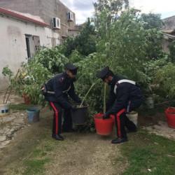 carabinieri compagnia ozieri scoprono serra e arrestano produttore