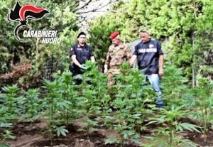 Trovata nuova piantagione di Cannabis nel nuorese dai carabinieri