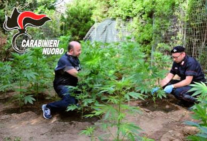 Trovata nuova piantagione di Cannabis nel nuorese dai carabinieri2