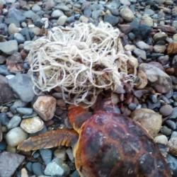 Tartaruga Caretta Caretta salvata da forestali